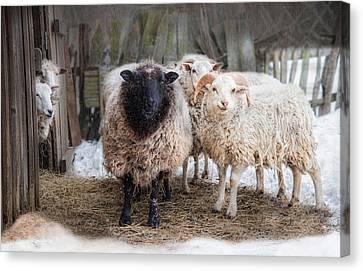 Close Knit Canvas Print by Robin-lee Vieira