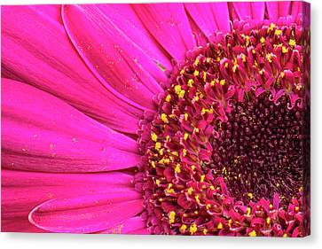 Close-up Of A Gerber Daisy Showing Canvas Print by Rona Schwarz