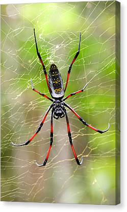 Close-up Of A Golden Silk Orb-weaver Canvas Print by Panoramic Images