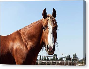 Close Up Of A Horse Canvas Print by Photostock-israel