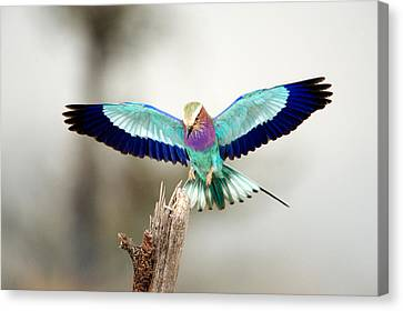 Close-up Of A Lilac-breasted Roller Canvas Print by Panoramic Images