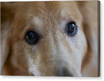 Close Up Of A Pet Dogs Eyes Canvas Print by Al Petteway & Amy White