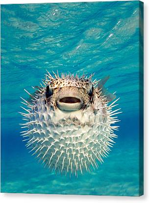 Close-up Of A Puffer Fish, Bahamas Canvas Print by Panoramic Images