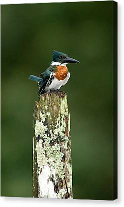 Close-up Of Amazon Kingfisher Canvas Print by Panoramic Images