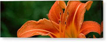 Close-up Of Orange Daylily Hemerocallis Canvas Print by Panoramic Images