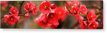 Close-up Of Red Flowers In Bloom Canvas Print by Panoramic Images