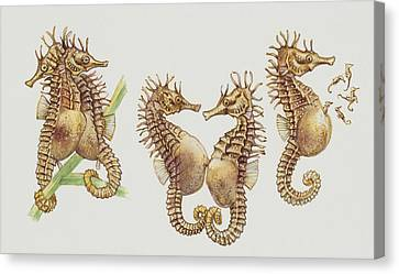 Close-up Of Sea Horses Canvas Print by English School