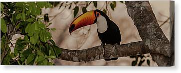 Close-up Of Tocu Toucan Ramphastos Toco Canvas Print by Panoramic Images