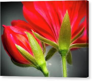 Close-up Of Vining Geranium From Back Canvas Print by Rona Schwarz