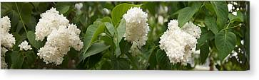 Close-up Of White Lilac Canvas Print by Panoramic Images