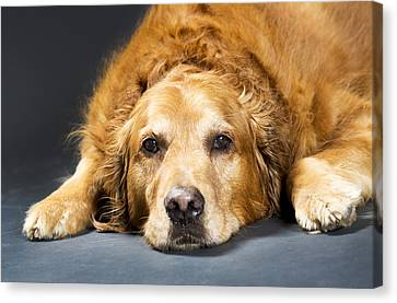 Close Up Portrait Of A Golden Retriever Canvas Print by Michael Interisano