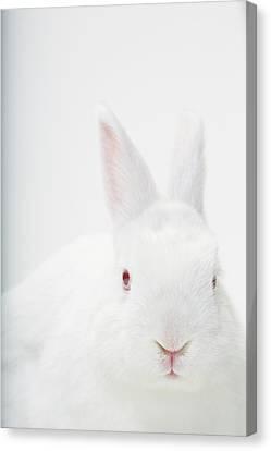 Close Up Portrait Of A White Domestic Canvas Print by Rebecca Hale