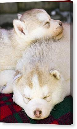Closeup Of Husky Puppies Sleeping On Canvas Print by Michael DeYoung