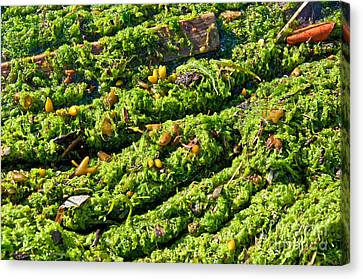 Closeup Of Patch Of Textured Seaweed Art Prints Canvas Print by Valerie Garner