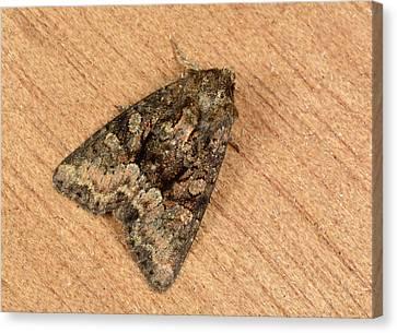 Clouded Brindle Moth Canvas Print by Nigel Downer