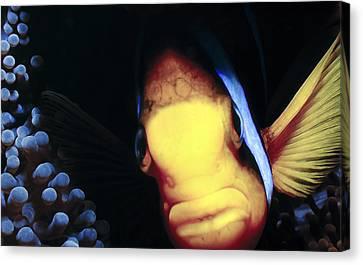 Clownfish 8 Canvas Print by Dawn Eshelman