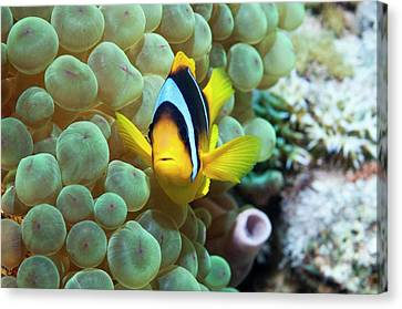 Clownfish In Anemone Canvas Print by Georgette Douwma
