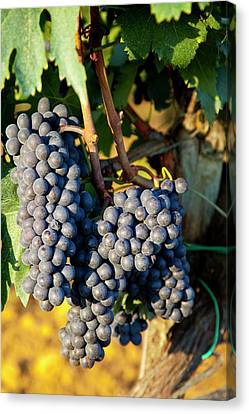 Cluster Of Ripe Sangiovese Grapes Canvas Print by Brian Jannsen
