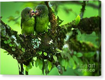 Cobalt-winged Parakeets Canvas Print by Art Wolfe