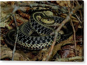 Coiled Garter Snake  Canvas Print by Neal Eslinger