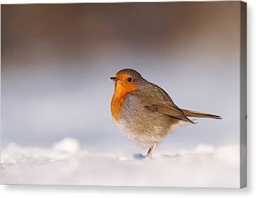 Cold Fee Warm Light Robin In The Snow Canvas Print by Roeselien Raimond