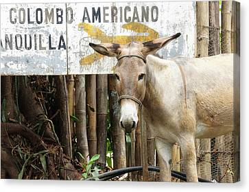 Colombia, Minca Mule And Sign Canvas Print by Matt Freedman