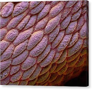 Colon Canvas Print by Steve Gschmeissner