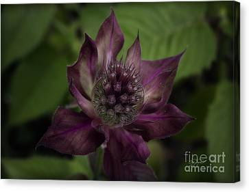 Color Purple Canvas Print by Cris Hayes