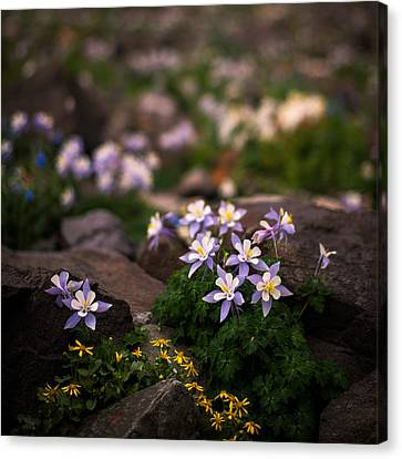 Colorado Columbine Glamour Shot Canvas Print by Mike Berenson