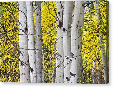Colorful Autumn Aspen Tree Colonies Canvas Print by James BO  Insogna