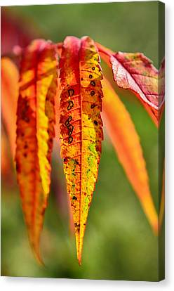 Colorful Autumn Leaves Canvas Print by Gynt