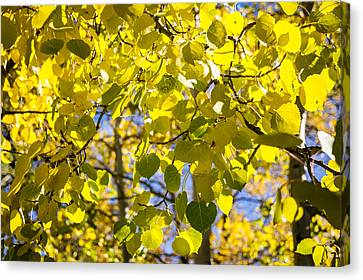 Colorful Changing Aspens Abstract - Estes Park Colorado Canvas Print by Brian Harig