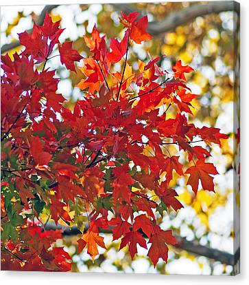 Colorful Maple Leaves Canvas Print by Rona Black