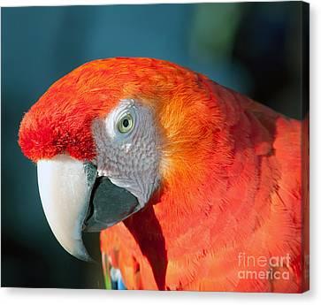 Colorful Parrot Canvas Print by Gunter Nezhoda