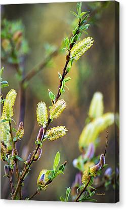 Colorful Spring Pussy Willows Canvas Print by Christina Rollo