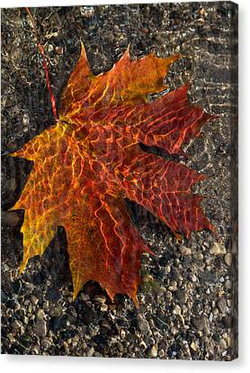 Colors And Patterns - Charming Maple Leaf Canvas Print by Georgia Mizuleva