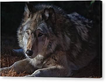 Colors Of A Wolf Canvas Print by Karol Livote