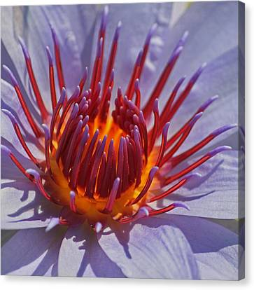 Come Hither Canvas Print by Suzanne Gaff