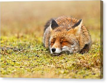 Comfortably Fox Canvas Print by Roeselien Raimond