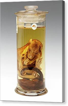 Common Brushtail Possum Specimen Canvas Print by Ucl, Grant Museum Of Zoology