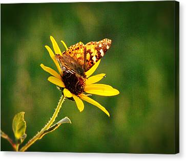 Common Daisy Canvas Print by Beverly Guilliams
