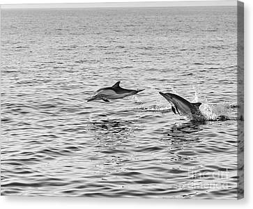 Common Dolphins Leaping. Canvas Print by Jamie Pham
