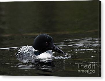 Common Loon 1 Canvas Print by Larry Ricker
