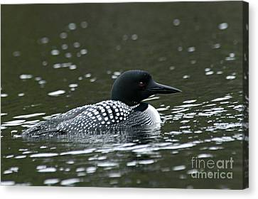 Common Loon 3 Canvas Print by Larry Ricker