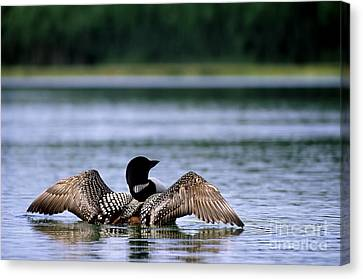 Common Loon Canvas Print by Mark Newman