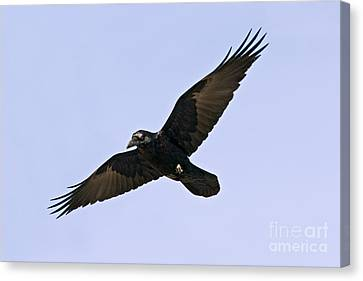 Common Raven Canvas Print by Jim Zipp