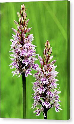 Common Spotted Orchids Canvas Print by Colin Varndell