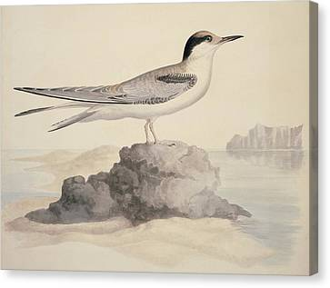 Common Tern, 19th Century Artwork Canvas Print by Science Photo Library