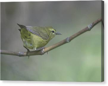 Common Yellowthroat Female Canvas Print by Graham Foulkes