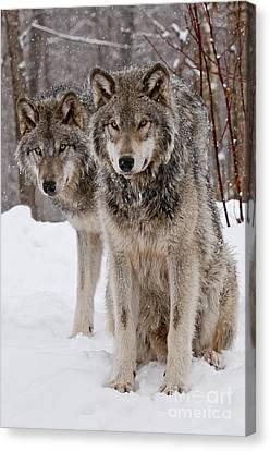 Companions Canvas Print by Wolves Only